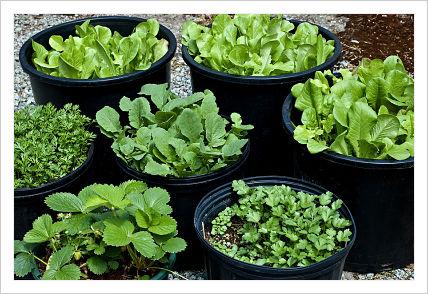 culture de légumes sur la terrasse